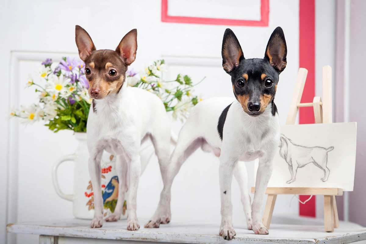 Toy Fox Terrier adult
