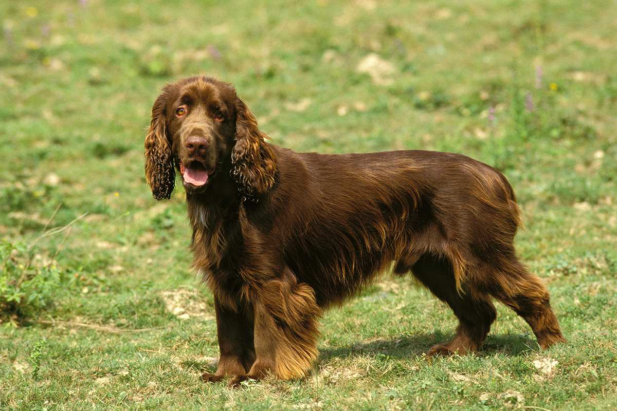 Field Spaniel standing outdoors