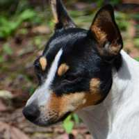 Miniature Fox Terrier