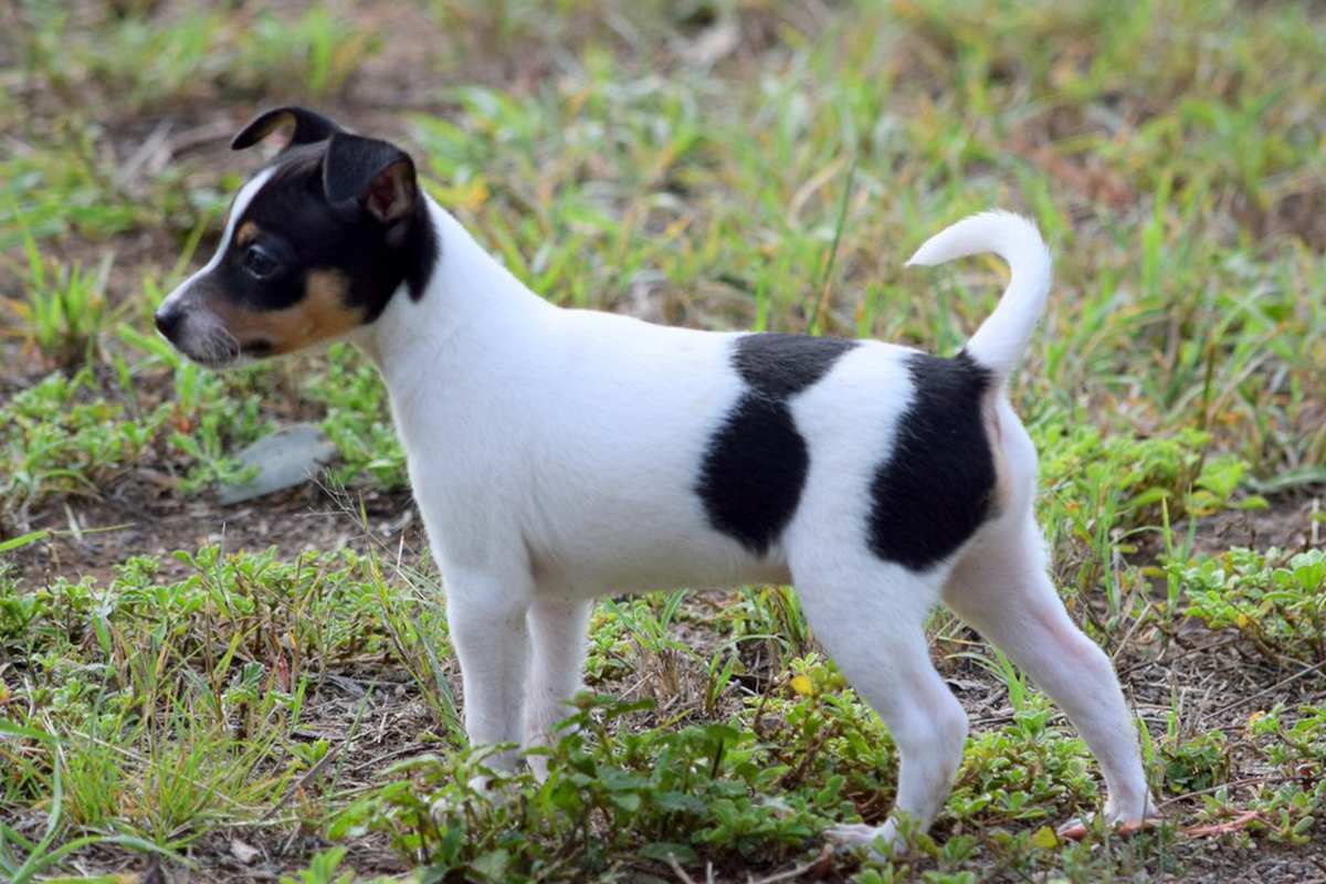 Fox Terrier Mini, Fox Terrier Mini, Miniature Fox Terrier puppy